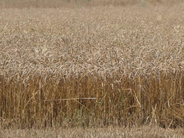 Държавите по света купуват европейската пшеница с най-бързите темпове досега