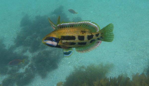 Риба пънкар