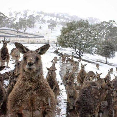 В същото време в Австралия... сняг!!!