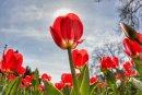 Ароматите на пролетта в София: Лалета, теменужки, цъфнали вишни